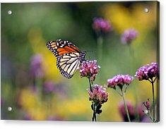 Monarch Butterfly In Field On Verbena Acrylic Print by Karen Adams