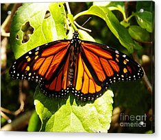 Monarch Butterfly Acrylic Print by Judy Via-Wolff