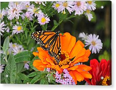 Monarch Butterfly Acrylic Print by Katie Wing Vigil
