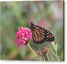 Monarch Butterfly Acrylic Print by Kim Hojnacki