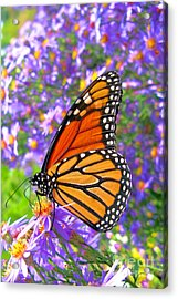Monarch Butterfly Acrylic Print by Olivier Le Queinec