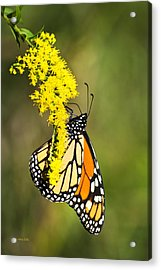 Monarch Butterfly On Goldenrod Acrylic Print by Christina Rollo