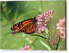 Monarch Butterfly On Milkweed Acrylic Print