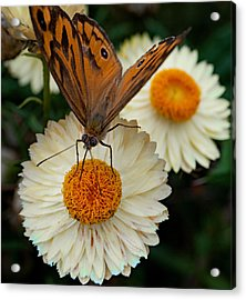 Monarch Butterfly On Paper Daisy Acrylic Print by Patrick OConnell