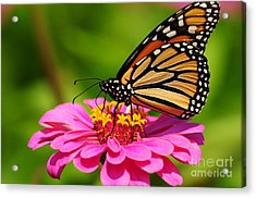 Acrylic Print featuring the photograph Monarch Butterfly On Zinnia by Olivia Hardwicke
