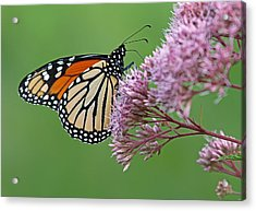 Monarch Butterfly Photography Acrylic Print by Juergen Roth
