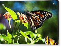 Monarch Butterfly Resting On A Flower Acrylic Print by Nancy E Stein
