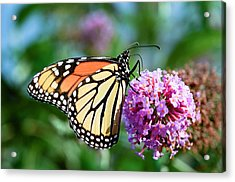 Monarch Butterfly Soaking Up The Sun Acrylic Print