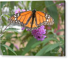 Monarch Butterfly Suckling A Flower Acrylic Print