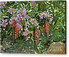 Monarch Butterfly Trio Acrylic Print