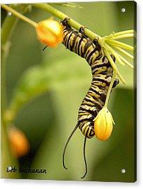 Monarch Caterpillar Acrylic Print
