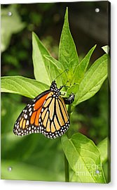 Monarch Egg Time Acrylic Print