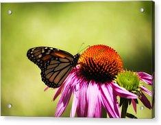 Monarch Glow Acrylic Print by Shelly Gunderson