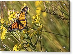 Monarch Hatch Acrylic Print by Daniel Sheldon