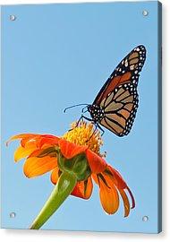 Monarch II Acrylic Print by Dawn Currie