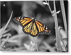 Monarch In Its Glory Acrylic Print