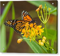 Acrylic Print featuring the photograph Monarch by Jane Luxton