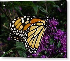 Acrylic Print featuring the photograph Monarch by Lingfai Leung