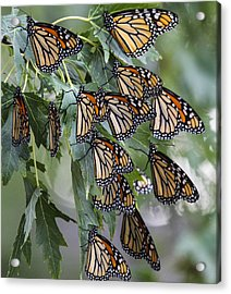 Monarch Migration Acrylic Print