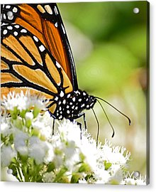 Monarch Moment Acrylic Print