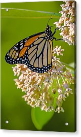 Monarch Nectaring Acrylic Print