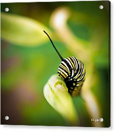 Acrylic Print featuring the photograph Monarch Offspring Squared by TK Goforth