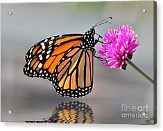 Acrylic Print featuring the photograph Monarch On A Pink Flower by Kathy Baccari