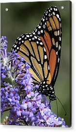 Monarch On Butterfly Bush-edition  3 Of 40 Acrylic Print