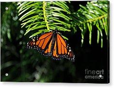 Monarch On Evergreen Acrylic Print