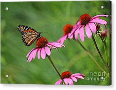 Monarch On Garden Coneflowers Acrylic Print