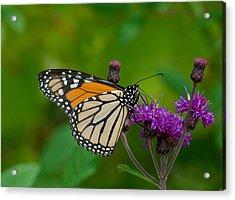 Monarch On Iron Weed Acrylic Print