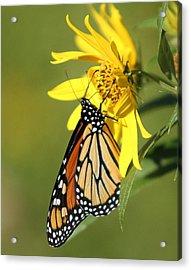 Monarch On Jerusalem Artichoke Acrylic Print