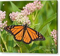 Monarch On Pink Acrylic Print by Dale Nelson