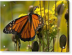 Monarch On Stiff Goldenrod Acrylic Print