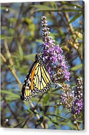 Monarch On Vitex Acrylic Print
