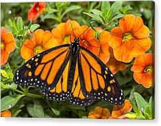 Monarch Resting Acrylic Print by Garry Gay