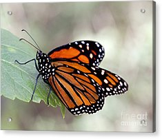 Monarch Resting On A Leaf Acrylic Print
