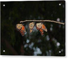 Monarch Trio Acrylic Print