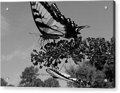 Swallotail In Black And White Acrylic Print by Kim Galluzzo Wozniak