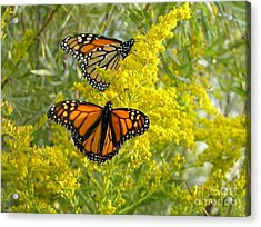 Monarchs On Goldenrod Acrylic Print