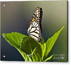 Monark Butterfly No. 2 Acrylic Print