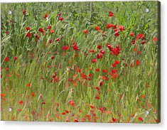 Monet Poppies IIi Acrylic Print