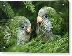 Monk Parakeet Chicks Acrylic Print by Paul J. Fusco