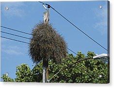 Monk Parakeet Nest Acrylic Print by Paul J. Fusco
