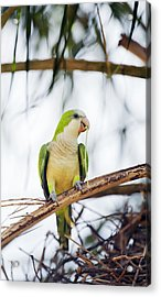 Monk Parakeet Acrylic Print by Science Photo Library