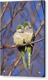 Monk Parakeets Acrylic Print by Paul J. Fusco
