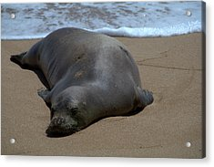 Monk Seal Sunning Acrylic Print by Brian Harig