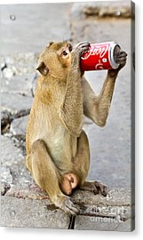 Monkey Enjoys Drinking Acrylic Print by Tosporn Preede