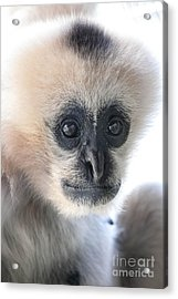 Monkey Face Acrylic Print