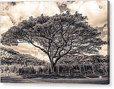 Monkey Pod Tree Acrylic Print